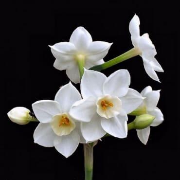 белый кустовой нарцисс